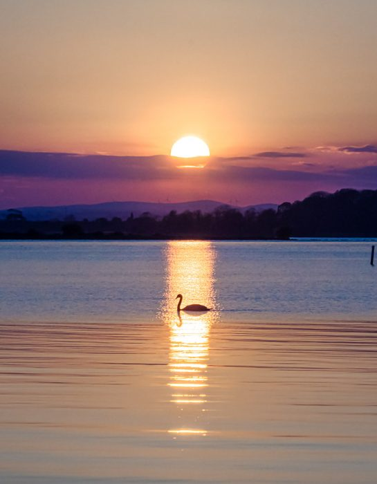 swan caught in reflection of sun on Lough Neagh